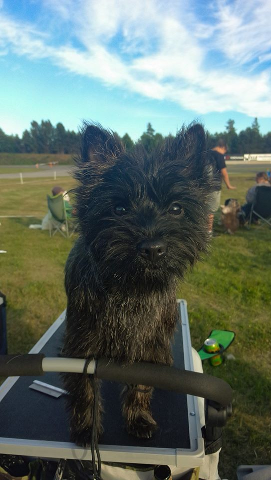 cairn terrier dog show